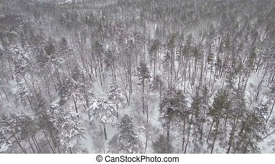 AERIAL: Low flight over snowy spruce forest in winter. -...