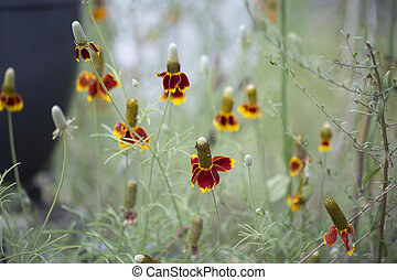 Coneflowers - Large patch of coneflowers growing in a...