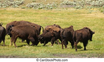 Wild Animal Buffalo Bull Males Fight Yellowstone National...
