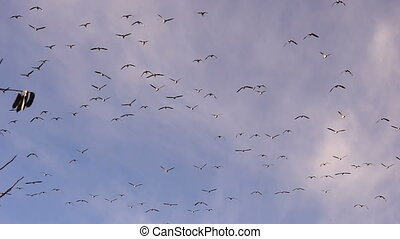 Large Flock Birds Geese Fly Overhead Southern Migration...