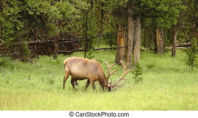 Large Bull Elk Western Wildlife Yellowstone National Park Animal