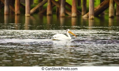White Wild Pelican Bird Yellowstone River Animal Wildlife -...