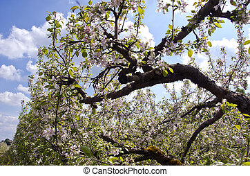 blossoming  old apple tree branch in orchard