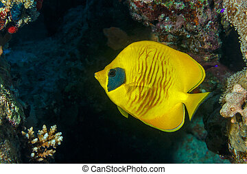 Fish butterfly. Fish of the red sea.