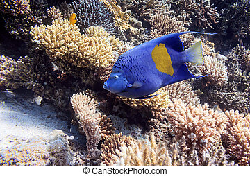 Beautiful blue fish on the coral bottom. Fish of the red sea.