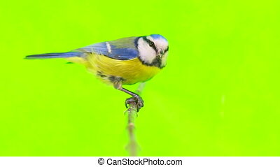 Eurasian Blue Tit (Cyanistes caeruleus) isolations on a...