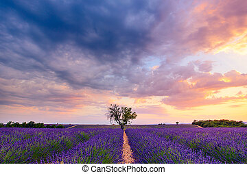Lavender field summer sunset landscape near Valensole,...