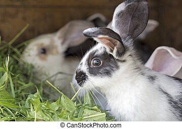 Rabbits in a hutch - Variegated rabbits in a hutch, eating...