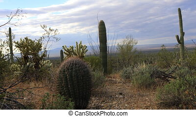 View of cactus group in Tucson Mountain Park - A View of...