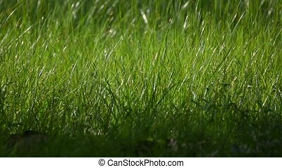 Grass field and flower of grass on meadow green color lush...