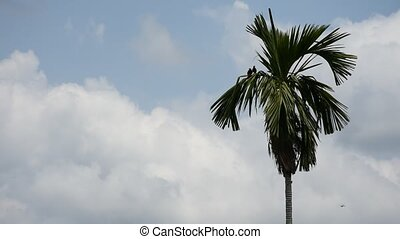 Bird (Mynas or Sturnidae) on a betel palm tree - Bird (Mynas...