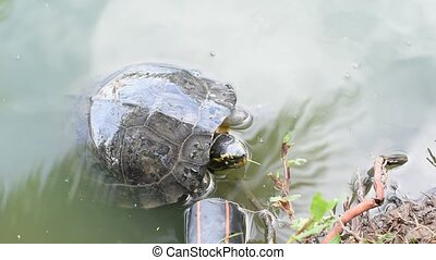 Turtles are reptiles in a pond - Turtles are reptiles of the...