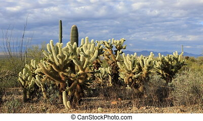 View of Cholla Cactus group in Tucson Mountain Park - A View...