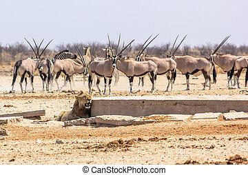zebras oryxs lion - wildlife animals: zebras oryxs looking...