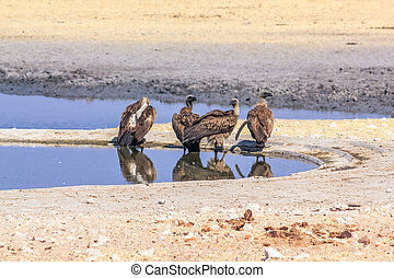 four vultures drinking at water pool in Namibian savannah of...