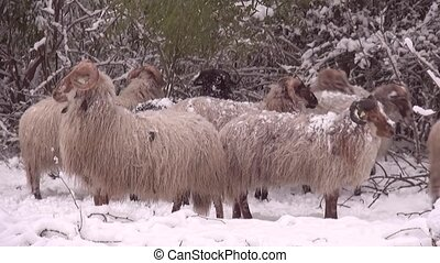 Sheep herd in the snow