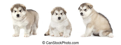 Malamute puppies - Photo collage of one month old Alaskan...