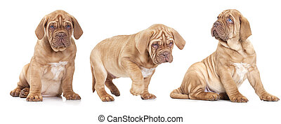 Three French Mastiff puppies - Nine month old French Mastiff...
