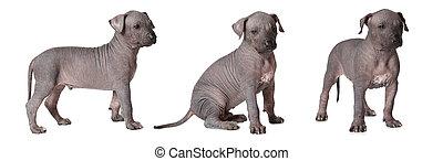 Hairless xoloitzcuintle puppies - Three hairless...