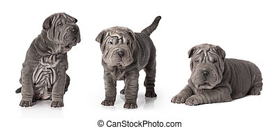 Sharpei puppy isolated on white - Set of thoroughbred...