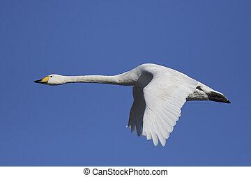 Whooper swan (Cygnus cygnus) - Whooper swan in flight with...
