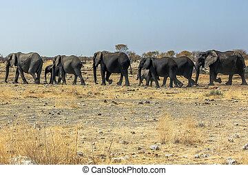 Etosha African elephants - wild African elephants herd...