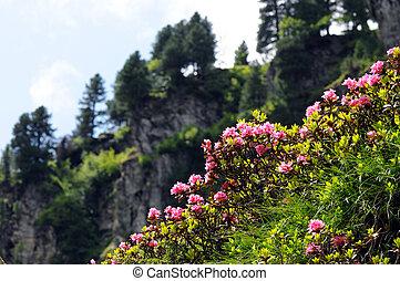 pink rhododendron in european alps tirol austria.