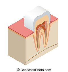 Isometric real tooth anatomy closeup cut away section model...