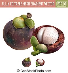 Mangosteen on white background. Vector illustration -...