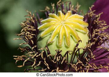 The flower bud of corn poppy