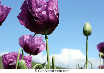 Opium papaver heads on the sky background