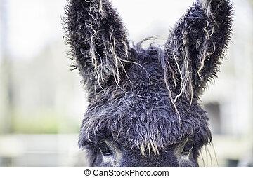 Bad hair day poitou donkey with very hairy ears - Poitou...