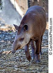 South American tapir or Tapirus terrestris - Front view of...