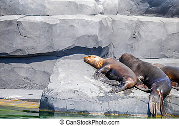 South American Sea Lion or Otaria flavescens