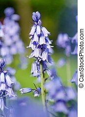 Bluebells flower closeup