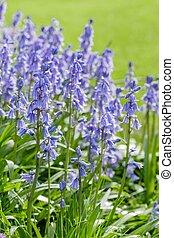 Bluebells in garden
