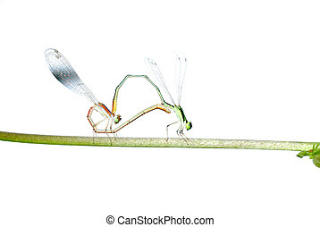 damselfly dragonfly mating isolated on white background