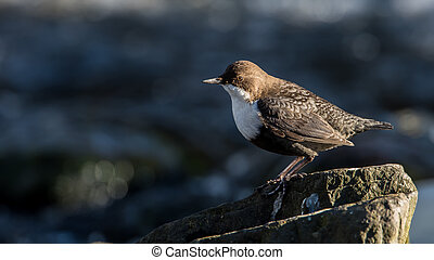Dipper - The White-throated Dipper (Cinclus cinclus) or just...