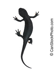 animal fire salamander isolated - animal chinese fire...