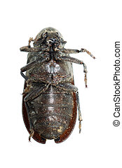 scarab beetle insect