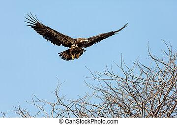 Juvenile Bald Eagle in Flight , Vancouver BC Canada