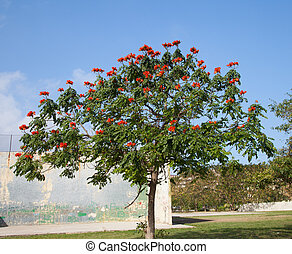 African Tuliptree - African tuliptree (Spathodea) with...