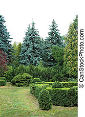 Clipped Buxus and fir tree in the park