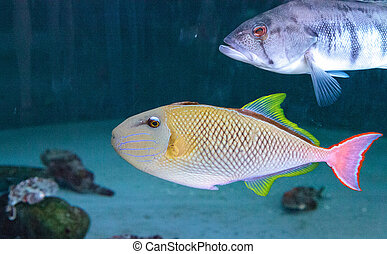 Red tail triggerfish Xanthichthys mento are found in Mexico...