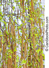 Birch gemma at spring - Branch of birch tree with gemma at...