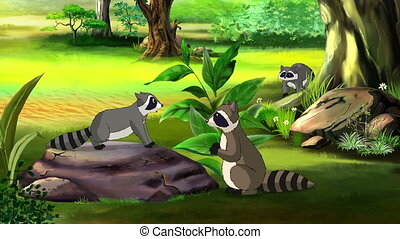 Cute American Raccoon - Raccoons family playing in the...