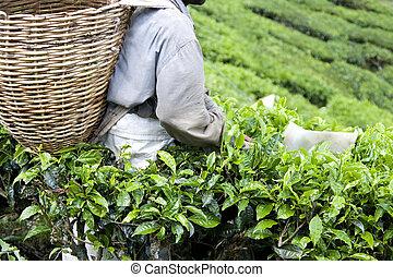 Worker Harvesting Tea Leaves - Image of a plantation worker...