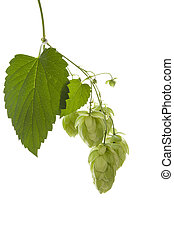 Hop plant isolated. - Hop plant isolated on white...