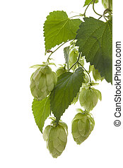 Hop plant. - Hop isolated on white background.