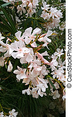 Oleander bush with beautiful flowers